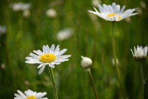 Margerite Prästkragen Blume Landschaftsblume Skåne